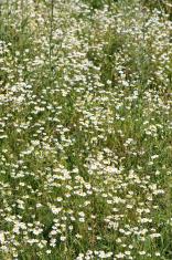 White flowers Meadow Field Plants