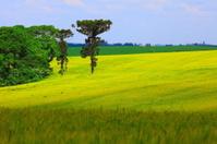 Green Araucaria and wheat green field, Southern Brazil