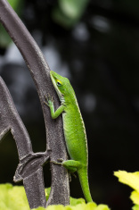 Green anole lizard Anolis carolinensis