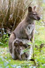 Bennett's wallaby.