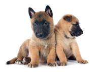 puppies malinois