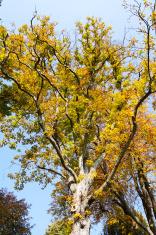 Chestnut tree in autumn