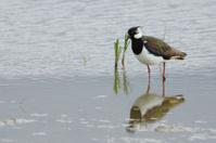 Common plover