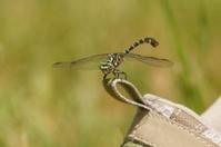 Dragonfly, Small Pincertail (Onychogomphus forcipatus) Green-eye