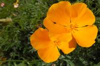 Close-up of California Poppy Wildflowers