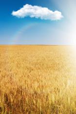 Wheat ears in bright sunshine under blue sky