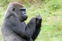 Grumpy western lowland gorilla