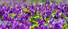 Violets in garden