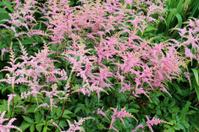 Image of pink astilbe flowers in ornamental herbaceous garden bo