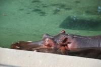 Sleeping Hippopotamus