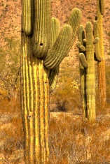Saguaro Cactus In A Row