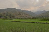 Paddy field at dusk