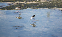 Black-winged Stilt (Himantopus himantopus).
