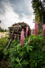 Firewood with wild lupine