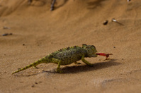 Namaqua chameleon catching prey