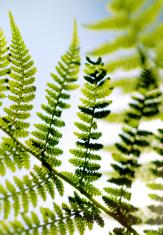fern leaves on blue sky