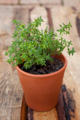 Thyme for food