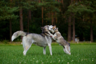 Siberian Husky and puppy.