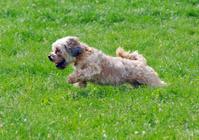 Cute bichon running