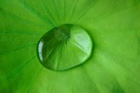 Water drops over lotus leaf
