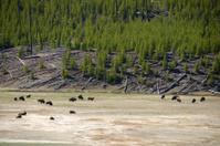 Yellowstone wildlife Bufallos grazing