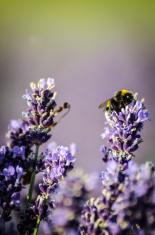 Lavender close up