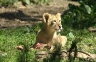 Lion baby having its dinner