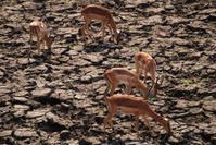 Drought Antelope