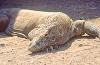 Komodo Dragon of Indonesia