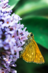 Yallow Butterfly