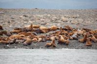 Steller sea lion in alaska Eumetopias jubatus