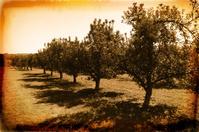 Apple Orchard - Vintage Photo