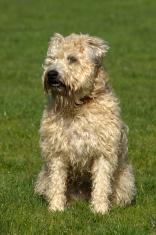 Wheaten Terrier in Field looking away
