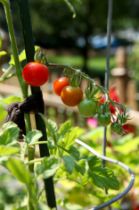 Cherry Tomatos in a Garden