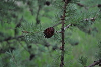 Larch Tree Pinecone