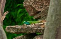 small green lizard