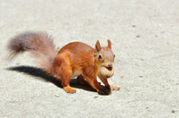 Squirrel gnaws walnut. Squirrel - a rodent of the squirrel famil