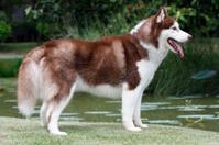 Standing smart Siberian husky dog