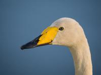 Solitary wild swan