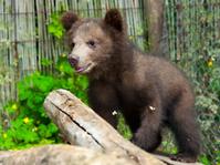 Brown bear (Ursus arctos) cub