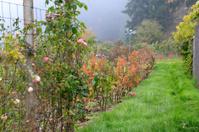 Rose garden on rainy gloomy day