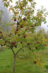 Apple tree in gloomy rainy garden
