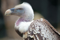 Portrait of a Ruppell's Griffon Vulture