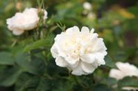historic white rose