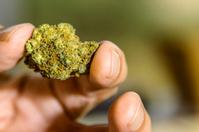 Legal marijuana bud