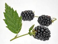 fresh blackberries,