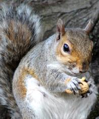 Image of grey squirrel sitting down and eating nut (Sciurus-caro