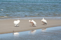 Pelicans in the Lagoon of Walvis Bay, Namibia, Africa