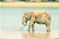 Asian Male Elephant