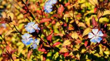 Chinese Plumbago Flower